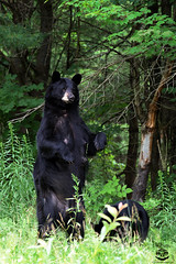 The Watcher (Megan Lorenz) Tags: blackbear bear sow animal mammal nature wild wildlife wildanimals ontario canada mlorenz meganlorenz