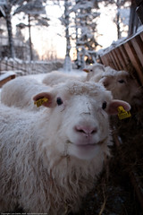 Happy sheep (Lars Dahlin) Tags: christmas december sweden christmasfair jamtli stersund julmarknad