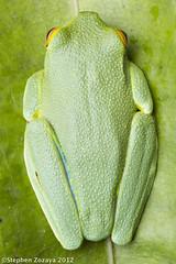 Litoria cf. gracilenta (Stephen Zozaya) Tags: amphibian frog queensland ironrange hylidae capeyork litoria capeyorkpeninsula hylid stephenzozaya kutini