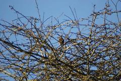 1848 - Redwing ahoy (Bruce Stokes) Tags: bird animal brandon marsh coventry redwing brandonmarsh 2012photos 2012photos2012