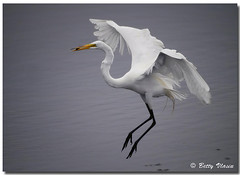 Great Egret (Betty Vlasiu) Tags: bird nature alba wildlife great ardea egret freedomtosoarlevel1birdphotosonly freedomtosoarlevel1birdsonly