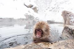 地獄谷野猿公苑 スノーモンキー/Japanese Snow Monkeys (GenJapan1986) Tags: 2012 地獄谷野猿公苑 山ノ内町 旅行 長野県 日本 japan nagano travel winter snow 冬 雪 japanesesnowmonkey スノーモンキー ニホンザル monkey 動物 animal nikond90