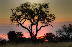 """Sunset with Tree in Okavango Delta • <a style=""""font-size:0.8em;"""" href=""""https://www.flickr.com/photos/21540187@N07/8294337044/"""" target=""""_blank"""">View on Flickr</a>"""