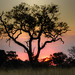 "Sunset with Tree in Okavango Delta • <a style=""font-size:0.8em;"" href=""https://www.flickr.com/photos/21540187@N07/8294337044/"" target=""_blank"">View on Flickr</a>"