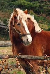 Beautiful Maude (Jen MacNeill) Tags: horse fence pennsylvania farm pa lancaster chestnut belgian draft workhorse landisvalleymuseum gypsymarestudios jennifermacneilltraylor