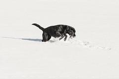 Black Labrador Retriever Lotte, snow and some Dummy
