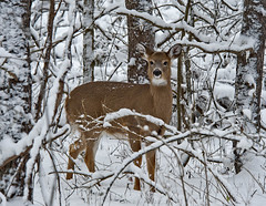 Deer in the Woods (riclane) Tags: canada animal forest ottawa deer oldquarrytrail ncctrail