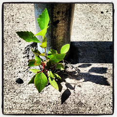 16 Aug 2012 (Rob Rocke) Tags: plants weeds shadows growth poles growing sidewalks signposts naturefindsaway theworldwithoutus instagram