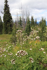 Alpine meadow on Mt. Revelstoke (AmandaMT) Tags: canada mountains bc britishcolumbia meadow canadian rockymountains westcoast revelstoke 2012 canadianrockies mountrevelstoke westcoastadventure widlflowers meadowsinthesky aplinemeadow