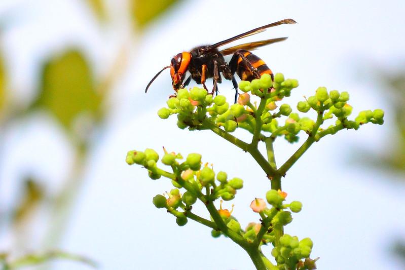 スズメバチの種類と見分け方・日本と海外のスズメバチの違い