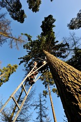 A Head for Heights (MrHRdg) Tags: tree freeassociation pine forest woods woodlands ladder padworthcommon uftonnervet