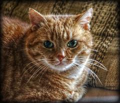 strulli (sillitilly) Tags: red orange cats macro animals ginger feline kitty gato cc100 strulli kissablekat bestofcats catmoments vg~catsgallery