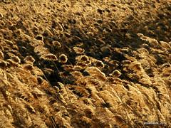 Phragmites australis (carrizo) (Landahlauts) Tags: andaluca andalucia laguna andalusia andalusien andalousie andalusie andaluz ramsar losmolinos humedales mamut andaluzia humedal parquenatural  parajenatural viaromana turba  andaluzja andaluzio turbera  viapecuaria   elpadul     elmanar            comarcadelvalledelecrin andalouzia andalusiya    fosatectonica humedalesyturberasdepadul 3700n0336w depresiondelpadul