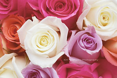 Rose Bouquet (KimFearheiley) Tags: pink white floral rose feminine cream valentine romantic valentinesday rosebouquet romanticflowerphoto kimfearheileyphotography