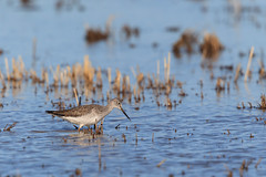 The Wild Life 10 (California Rice Commission) Tags: bird wildlife nelson crc greateryellowlegs wintermigration