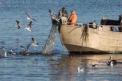 Herring Run (phil_mcgrew) Tags: sanfrancisco fish bay boat fishing fisherman seagull pelican catch herring