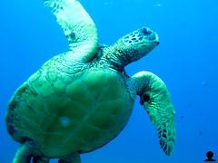 Under Honu (Aaron Lynton) Tags: ocean hawaii underwater pacific turtle maui turtles honu seaturtle greenseaturtle underwaterphotography cleaningstation greenseaturtles