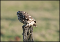 Little Owl (Athene noctua)  (Explore 13th Jan # 285) (Col-page) Tags:
