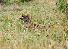 Cheetah (MarcProudfoot) Tags: kenya wildlife cheetah masaimara sal70400g slta77v