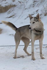 19/01/2013 Coxyde - Sled Dog (Philippe Clabots (#PhilippeCPhoto)) Tags: beach belgique chien coast coxyde husky koksijde mer musher mushing sea sleddog slegdog snowdog sport strand westhoek zee