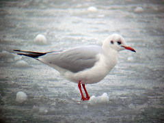 Black-headed Gull (Chroicocephalus ridibundus) (Jason Kernohan) Tags: birds gulls worcestershire blackheadedgull kidderminster chroicocephalusridibundus captainspool