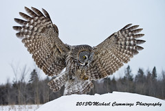 Great Gray Owl (Michael Cummings) Tags: brown ontario canada nature birds animals photography wildlife ottawa greatgrayowl wildlifephotographer birdpics naturephotography animalphotography wildlifephotography naturepics birdpictures animalpics animalphotograph naturephotograph avianexcellence michaelcummings wildlifepics wildlifephotograph blackbirdphotography greatgrayowlpictures greatgrayowlpics greatgrayowlphotography