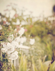 Happy Fence Friday {Home By the Sea} Edition! (pixelmama) Tags: california roses white sandiego genesis laplaya  pointloma hff homebythesea fencefriday pixelmama