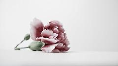 32 (2.1) (Kalyna Harasymiv) Tags: pink white house flower macro love australia minimal petal canberra 365 february minimalism friday kalyna project365 365project