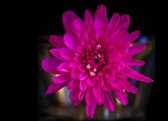 Possibilities (12bluros) Tags: flowers flores flower nature floral flora magenta fuchsia mum nights chrysanthemum crisantemo 1001 crisantemos flowersarebeautiful mimamor excellentsflowers flickrflorescloseupmacros panoramafotogrfico 1001nightsmagiccity magicmomentsinyourlifelevel1