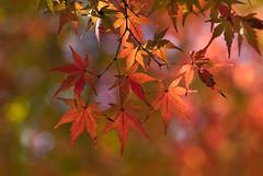 Autumn Maple Leaves In Tokyo Park (aeschylus18917) Tags: japan 日本 tokyo 東京 nikon d700 nikond700 danielruyle aeschylus18917 danruyle druyle ダニエルルール ダニエル ルール nature autumn 季 seasons 季節 fall tree leaves fallcolors kōyō autumncolors koyou 紅葉 秋 kouyou red mapleleaves bokeh 105mmf28gvrmicro 105mmf28 nikkor105mmf28gvrmicro 105mm momiji こ‐よう 紅葉ツアー leaf mapleleaf 黄葉 foilage maple モミジ pxt
