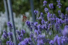 IMG_7800 (ElsSchepers) Tags: limburglavendel lavendelhoeve stokrooie kuringen hasselt natuur vlinders