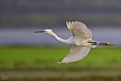 Little Egret (nomane172) Tags: littleegret egret bird animal outdoor wildlife nature wildlifephotography naturephotography birdsofbangladesh dhaka bangladesh nikon d750 tamron 150600mm ngc waterbird