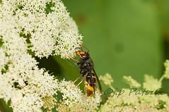 frelon asiatique - vespa velutina (ptxjp) Tags: nikon nature sigma180macro barn d300 captureone macro exterieur insecte frelon asiatique