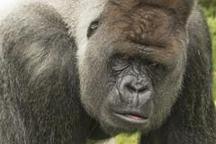 Bokito (Jan de Neijs Photography) Tags: aap gorilla zilverrug zilverruggorilla blijdorp zoo dierentuin bokito tamron amron150600 rotterdam diergaardeblijdorp