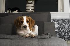 Not quite best friends yet (Sindre Eidissen Engelstad Photography) Tags: cat dog breton brittanydog livingroom couch tapestry wallpaper window grey blue vase