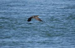 Double-crested Cormorant - Phalacrocorax auritus (jessica.rohrbacher) Tags: cormorant phalacrocoracidae phalacrocorax auritus bird avian calgary alberta canada