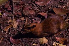 Greater Mouse deer (tik_tok) Tags: singapore singaporezoo nightsafari asia animal greatermousedeer greatermalaychevrotain napu tragulusnapu night