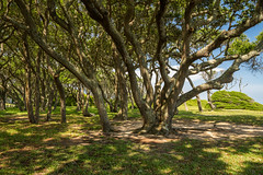 Tangled Oaks (Longleaf.Photography) Tags: tangled oak trees beach sea coast fortfisher fort nc kure