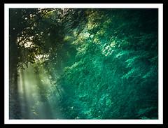 Sunlight penetrating the forest (derek_michalski) Tags: forest sunlight nature naturallight nikon fineartphotography derekmichalskiphotography