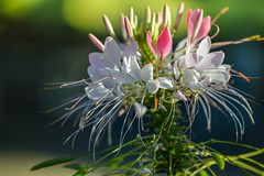 Cleome hassleriana (melbroox) Tags: cleomehassleriana cleome flower spiderflower torontozoo plant nature pink white