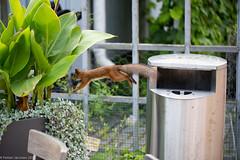 Helsinki Botanic Garden: squirrel jumping from garbage bin (PetteriJarvinen) Tags: squirrel jumping intheair