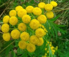 Tansy (The Woodlands Shireoaks) 3 (moikeyboy) Tags: flowers tansy woodlands shireoaks