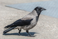 Hoodie (pstani) Tags: corvuscornix hebrides portree scotland skye uk bird corvid crow hoodedcrow hoodie