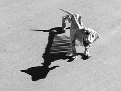 1 has a New Pet Prop (Mertonian) Tags: k9 skeleton ribs shadow props dog bones fall pet perfectpet mertonian robertcowlishaw canon powershot g7x mark ii canonpowershotg7xmarkii grey blackandwhite cement concrete texture fun backyardphotolab humor