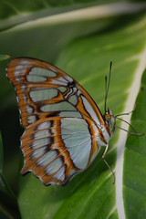 Enjoying the moment. (Daantje1704) Tags: butterfly vlinder blijdorp zoo rotterdam animal insect macro allnaturesparadise