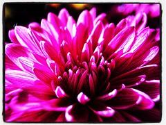 Flowerescent or flourescent? Haha. (Kindle Girl) Tags: iphone iphonemacro olloclip olloclipmacro flower summer apartmentlife