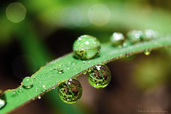 Dew Drops (Suresh Photography) Tags: dewdrops macro water leaf rain nature green nikon suresh chennai tamilnadu india sureshcprog sureshphotography d5300 beautiful