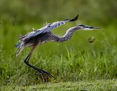 Aug 31 201610981 (Lake Worth) Tags: animal animals bird birdwatcher birds canonef500mmf4lisiiusm canoneos1dxmarkii everglades feathers florida nature outdoor southflorida waterbirds wetlands wildlife wing