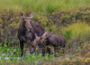 Moose AP _0103 (sugarzebra) Tags: moose cow calf calves algonquin algonquinpark marsh feeding canon 1dx family naturally wonderful naturallywonderful