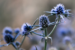 Thistle me this (donminer) Tags: plant flowers wildflowers bokeh thistle macro california blue gray green sharp closeup spiky thorns seeds